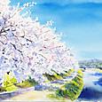 高野川の桜